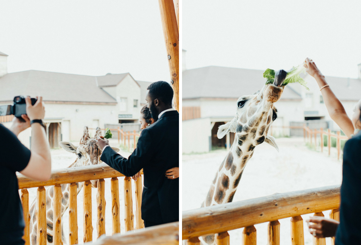 bride_and_groom_feeding_giraffe_zoo_wedding.png