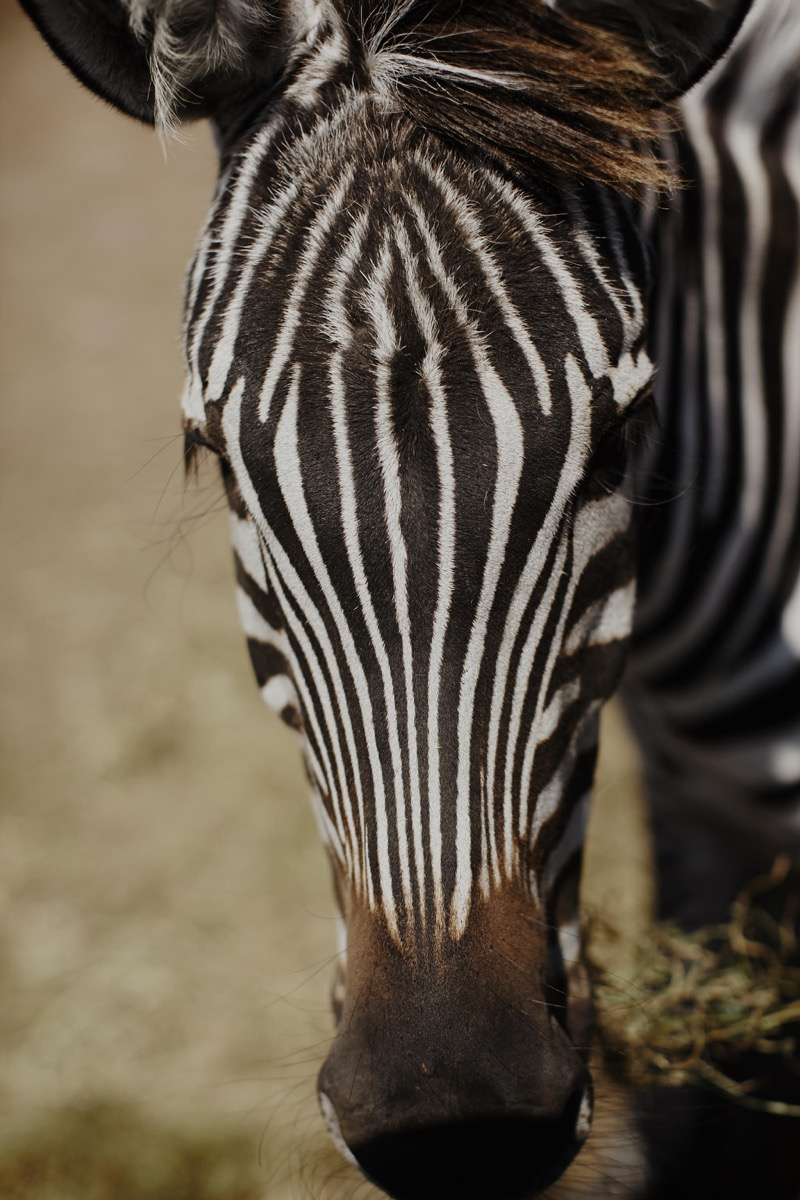 closeup_of_zebra_minnesota_wedding_farm.jpg