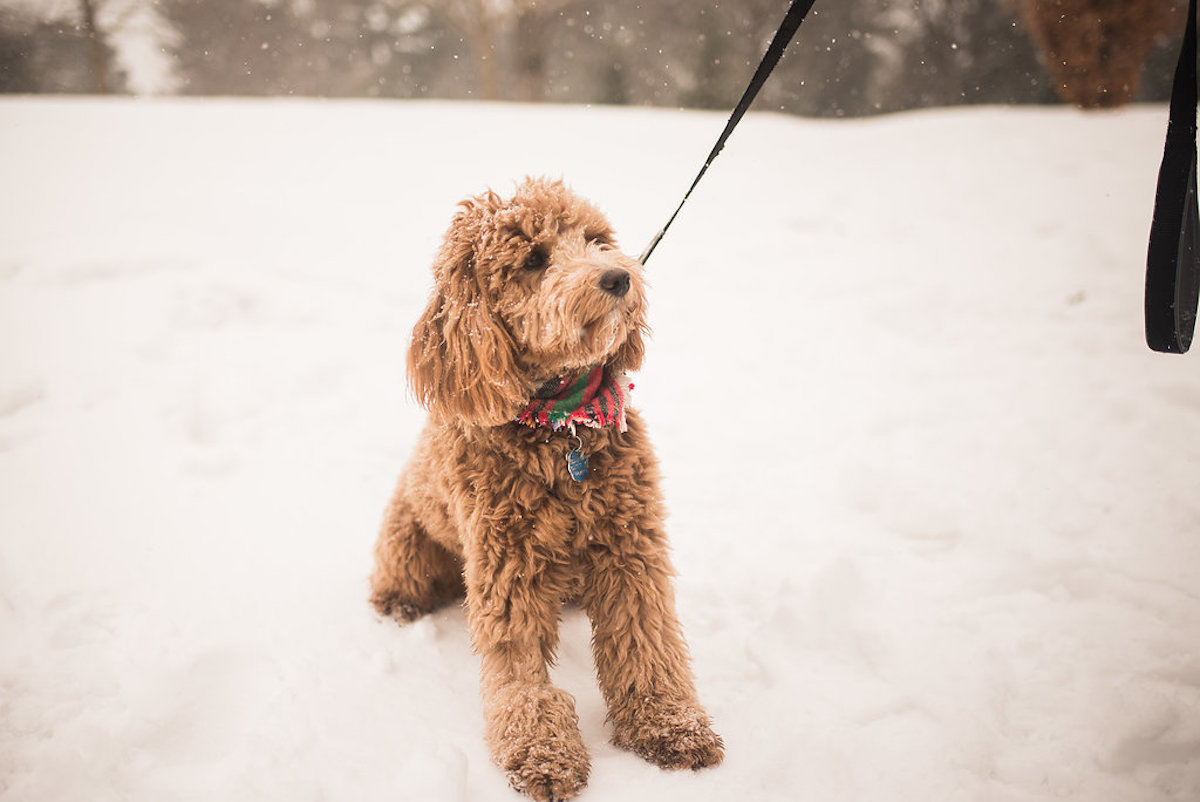 cute_goldendoodle_with_red_scarf_in_winter_snow.JPG