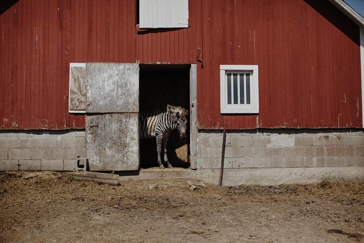 zebra_red_barn_boho_wedding_minnesota.jpg